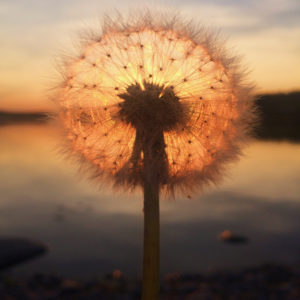 Dandelion Sunset by Sara Ronkainen