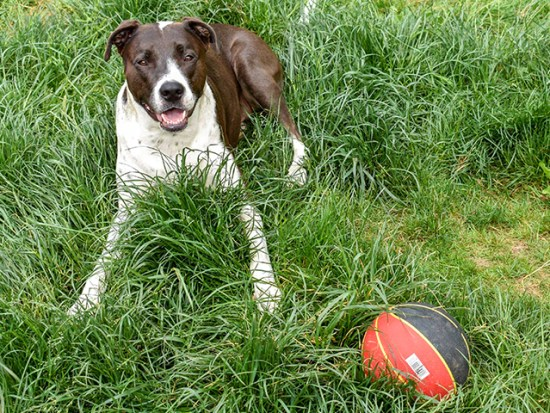 Dog laying in the grass with a ball.