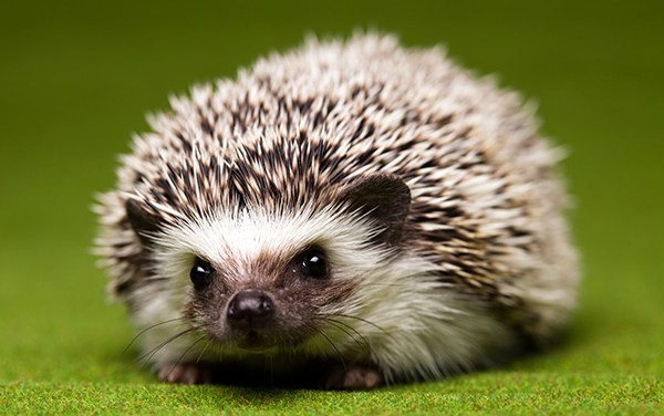 A Few Facts on Hedgehogs as Pets