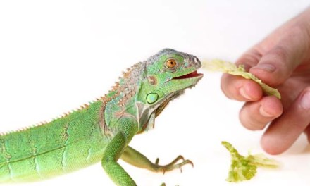 Things to Know when Caring for Green Iguana Pet