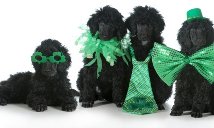 Online Poodles for Sale