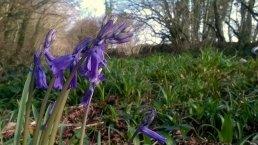 Bluebells on the Tarka Trail