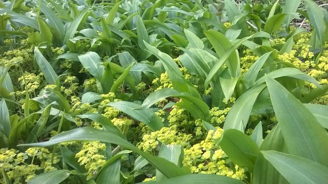 Golden saxifrage on the Tarka Trail