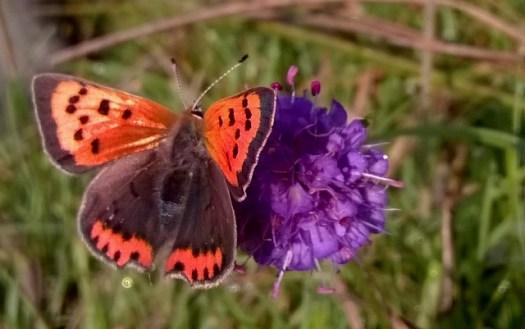 Small Copper buttefly at Wheatland Farm's Devon Eco Lodges