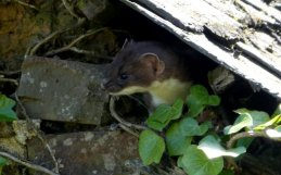 Stoat peeping out of the roof of the welly store at Wheatland Farm's Devon eco lodges