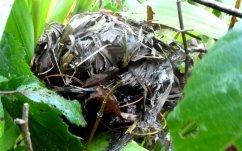 Dormouse nest at Wheatland Farm, Devon