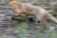 Fox on the move, with lovely black feet! Wheatland Farm's Devon Eco Lodges