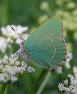 Green hairstreak, Wheatland Farm Devon