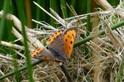 Small copper, Wheatland Farm Devon
