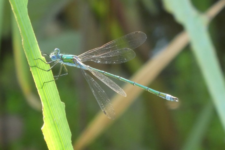Shows a male emerald damselfly photographed at Wheatland Farm