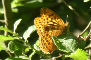Silver washed fritillary butterfly, Wheatland Farm