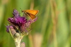 Small skipper butterfly, Wheatland Farm