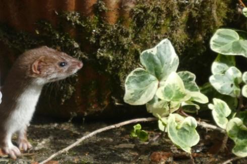 Weasel peeking around plant pots at Wheatland Farm, Devon