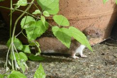 A weasel by the farmhouse door, Wheatland Farm Devon