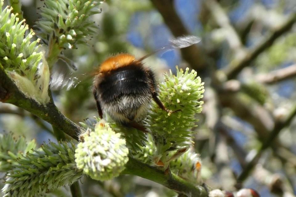 Shows a tree bumblebee gathering willow pollen at Wheatland Farm, Devon