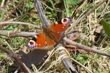 Peacock butterfly, Wheatland Farm March 2019