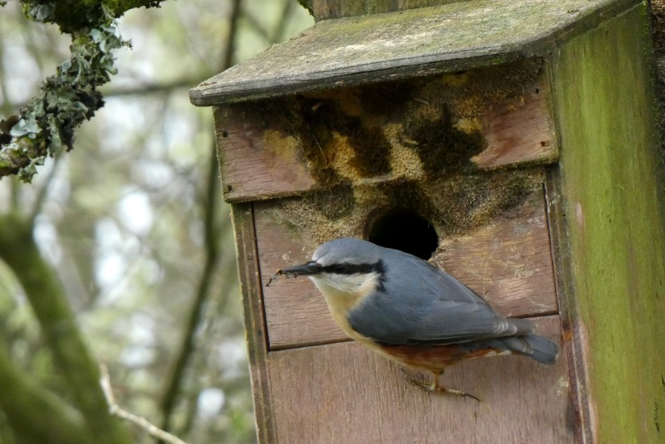 Nuthatch using a nest box at Wheatland Farm's Devon Eco Lodges