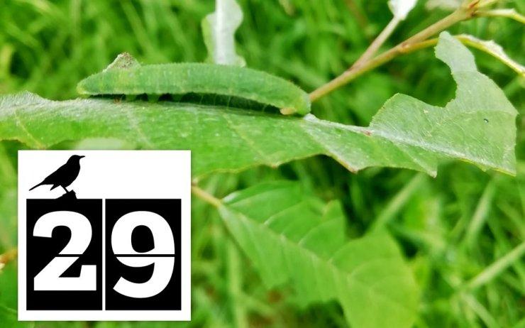 Brimstone caterpillar at Wheatland Farm's Devon Eco Lodges