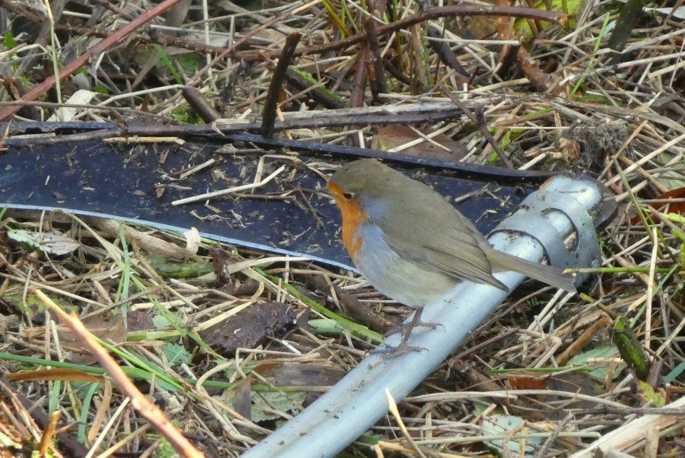 Robin perched on a scythe at Wheatland Farm's low carbon holiday lodges