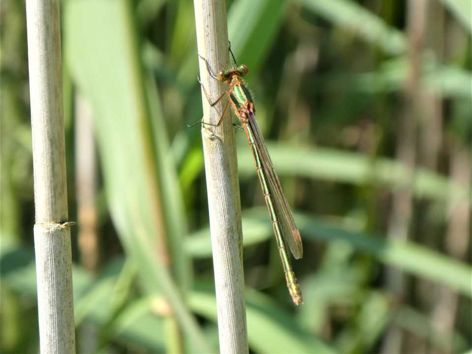 Shows a female, or possibly an immature male emerald damselfly