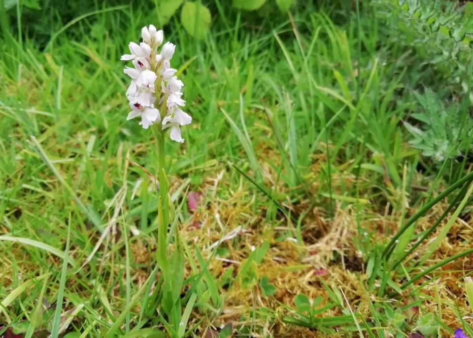 Image shows a heath spotted orchid growing near the wildlife pond at Wheatland Farm