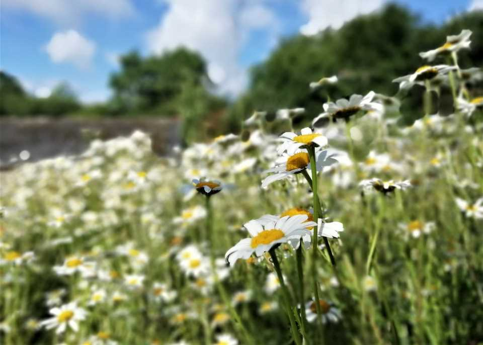 shows a bank of ox eye daisies at Wheatland Farm, Devon
