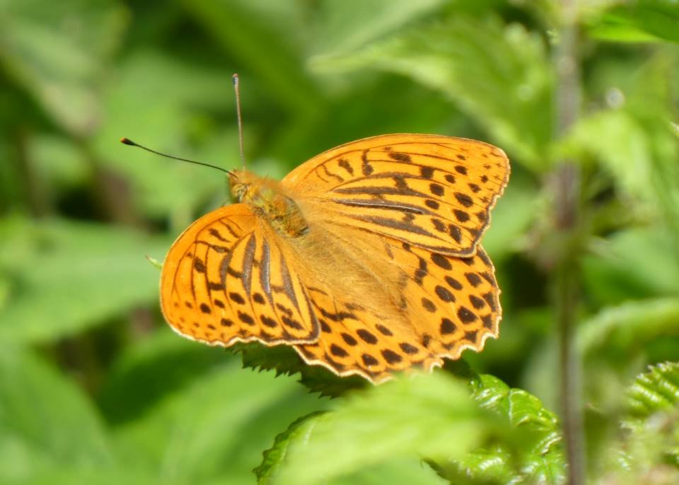 Shows a silver washed fritillary butterfly basking on willow herb at Wheatland Farm, Devon