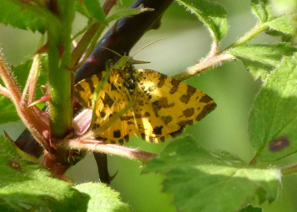 Shows speckled yellow moth on bramble at Wheatland Farm