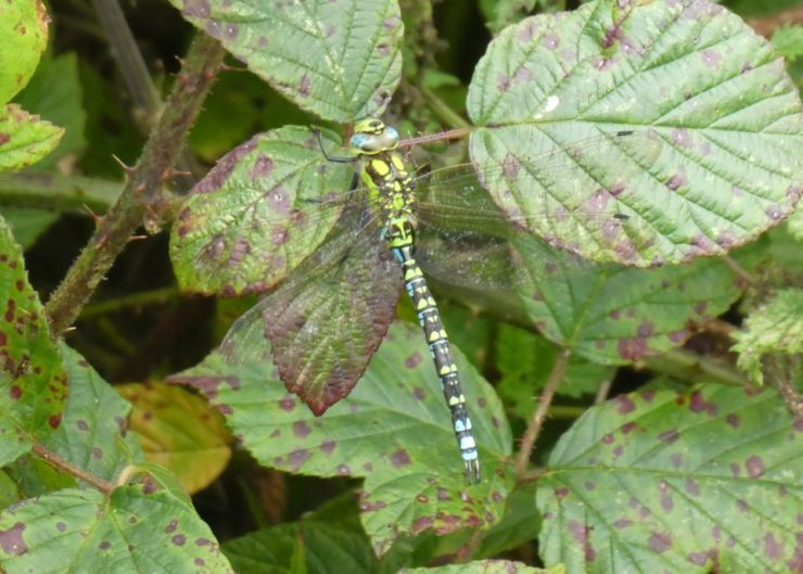 Shows a male southern hawker dragonfly on bramble leaves at Wheatland Farm's Devon Eco Lodges