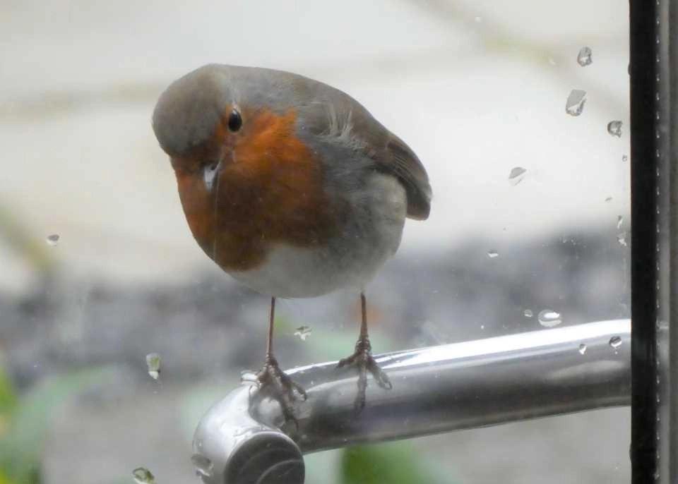 A robin perching on the door handle at Wheatland Farm, Devon