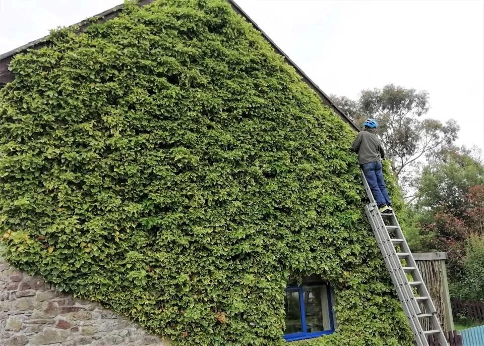 Trimming the living ivy wall at Otter Cottage, Wheatland Farm