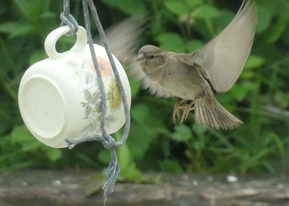 A female sparrow hovers at a birdfeeder at Wheatland Farm, Devon