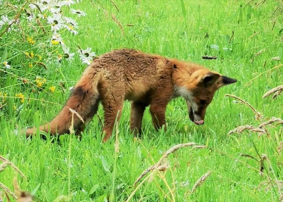 A fox cub sniffing the grass at Wheatland Farm's Devon Eco Lodges