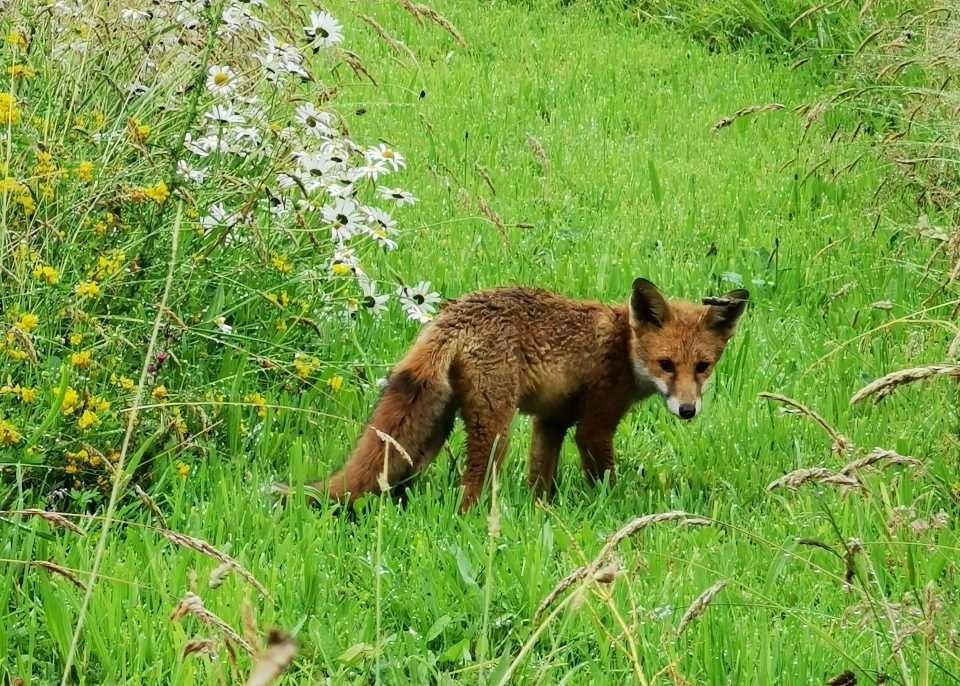 A fox looks at the camera at Wheatland Farm, Devon