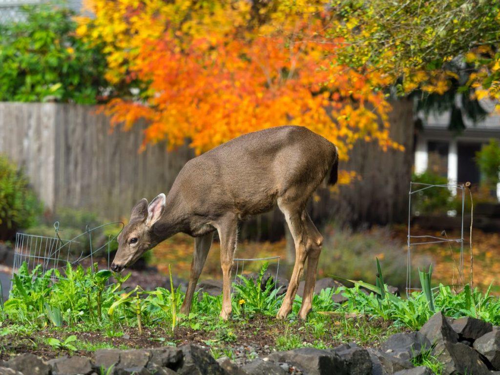 Deer Control in Vienna VA  Northern VA Deer Repellent  Treatment