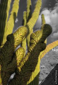 Muuuutant cactus, baby!!