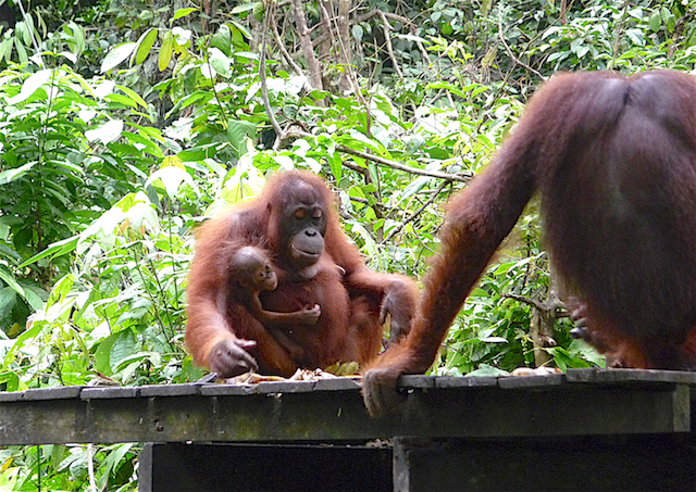 These orangutans were seen at the Sepilok Orangutan Rehabilitation Centre. Sadly, many of those in the remaining areas of rainforest will not survive…