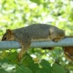 Hot fox squirrel