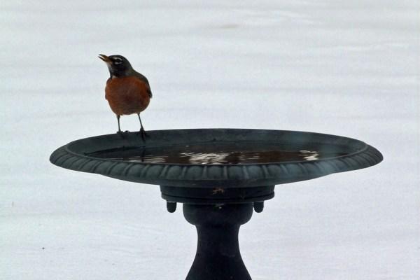 Robin at birdbath during winter