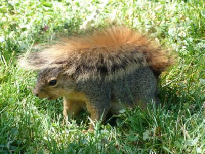 Squirrel hiding under tail