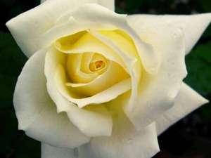 April Moon Roses