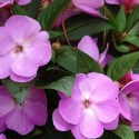 New Guinea Impatiens Planting and Care