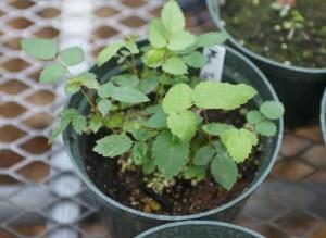rose seedlings