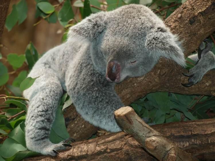 koala things to see in australia
