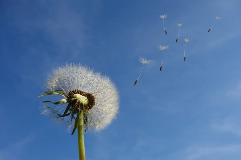 Dandelion and spores flying across blue skies | Where my Heart Leads