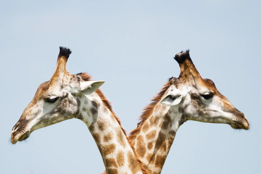 Two heads of giraffes looking opposite directions | Where My Heart Leads