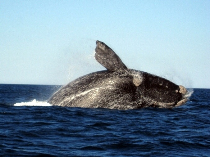 southern right whale breaching argentina