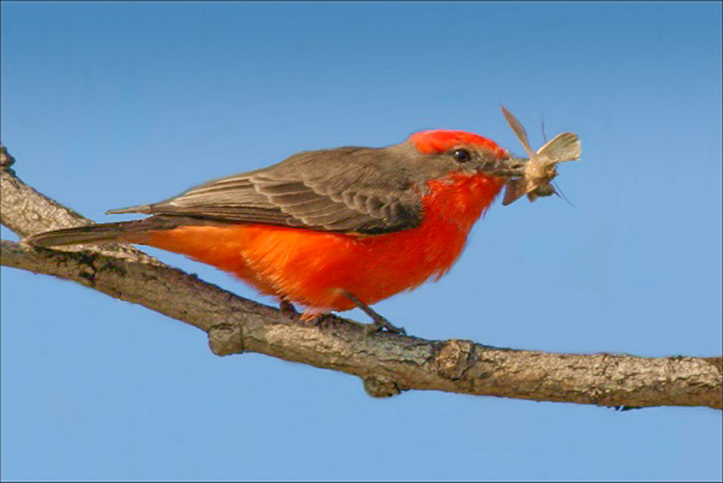 Vermilion flycatchers prefer arid habitats near water.