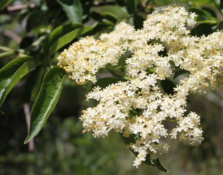 ways to use fresh elderflowers
