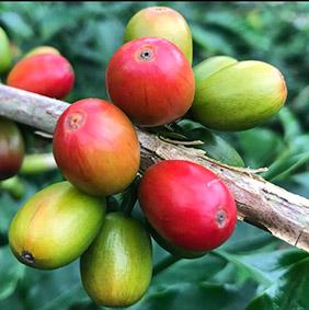il caffè della Colombia - drupe